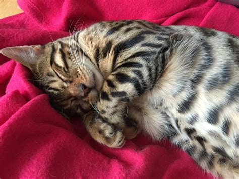 Beautiful Bengal Kittens Cats Kittens For Rehoming | urgent beautiful bengal kitten for rehome edinburgh