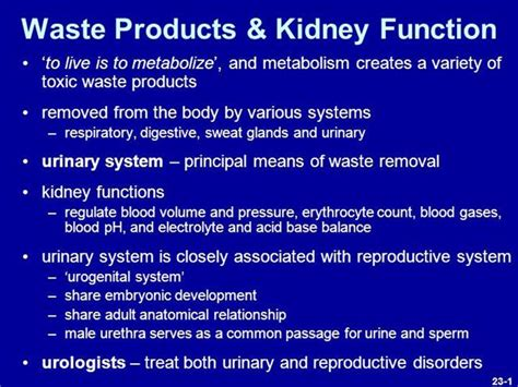 powerpoint templates urinary system lab lecture 5 urinary system spring 2013 authorstream