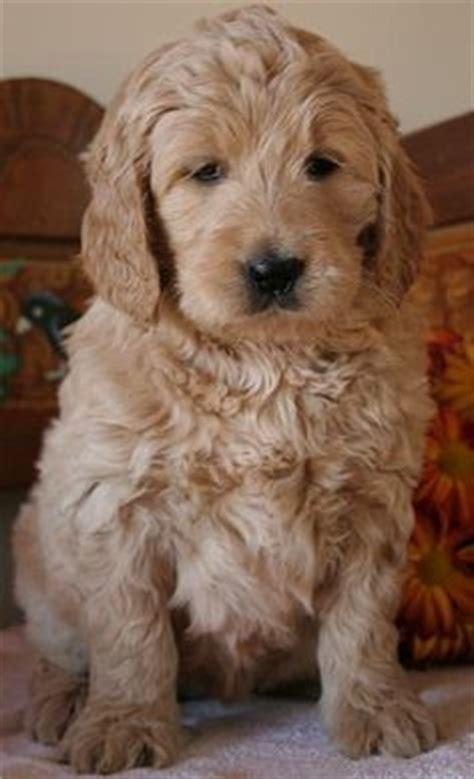 doodle puppy finder cutest goldendoodle puppy animals