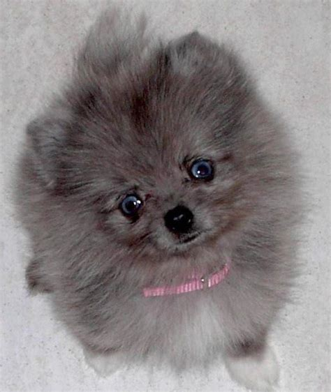 pomeranian colors pomeranian colors puppies