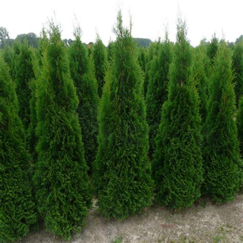 Thuja Smaragd Wachstum 3328 by Lebensbaum Pflanzen Janssen