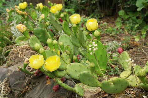 Indoor Plants And Flowers - opuntia humifusa
