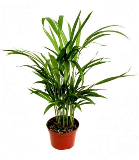 Palm House Plants by 10 Houseplants That Clean The Air Page 7 Of 11 Sand