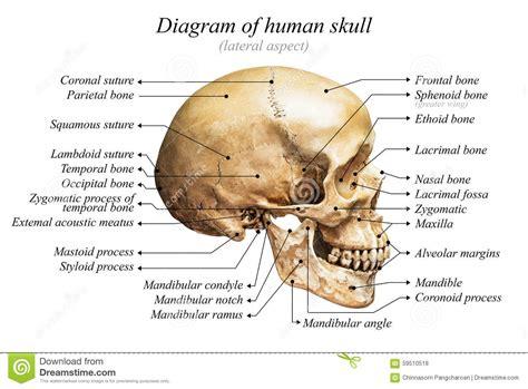 diagram of the skull human skull diagram stock photo image 59510518