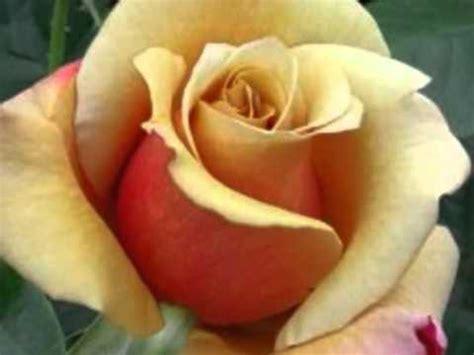 piccolo fiore dove vai teppisti dei sogni piccolo fiore dove vai teppisti dei sogni by prince of