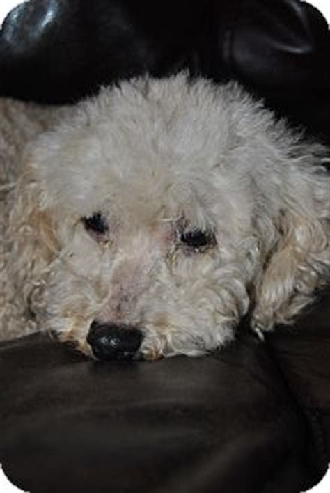bichon frise puppies mn miss adopted webster mn poodle miniature bichon frise mix
