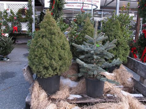 living christmas trees good idea or bad henry homeyer