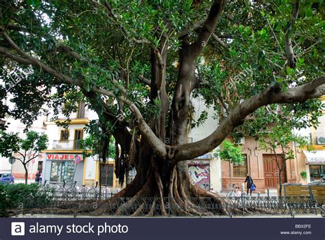 rubber st tree large rubber tree ficus elastica on plaza museo in
