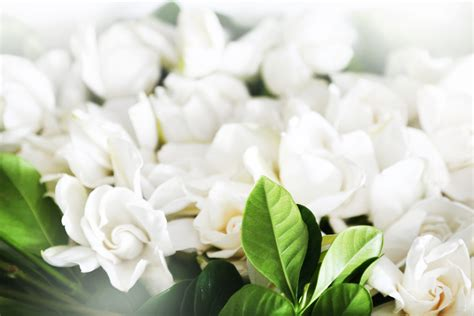 gardenia needs 28 images garden crops that need