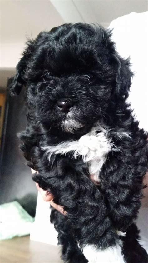black maltipoo puppies beautiful black and white maltipoo puppy spalding lincolnshire pets4homes