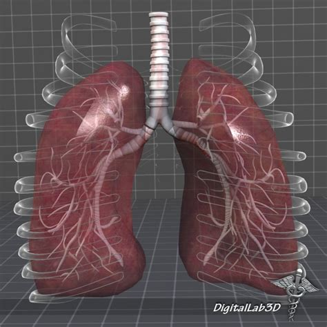 Lung Exclusive L 1 lungs anatomy external 3d model cgstudio