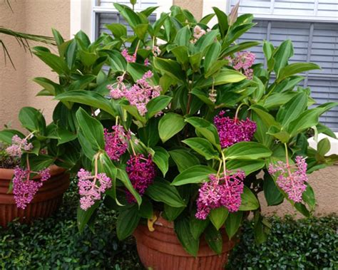 Colours Home Decor medinilla myriantha malaysian orchid from agristarts