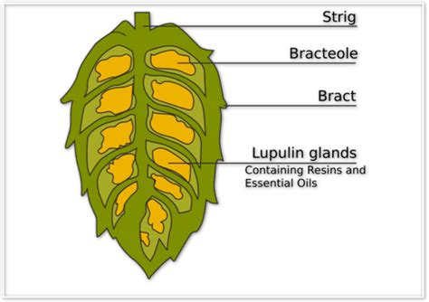 hop anatomy and chemistry 101