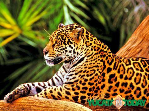 of jaguars discover the power of the jaguar yucatan today
