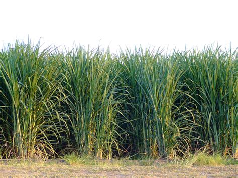 what is a cane row file sugar cane rows jpg wikimedia commons