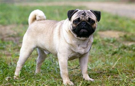 average pug most popular cheapest breeds in the world top 10 list