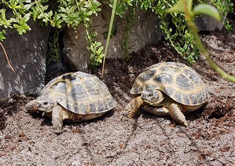 7 Tips On Caring For A Russian Tortoise by Russian Tortoise Care Sheet