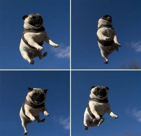 jumping pug 67 best images about memes on