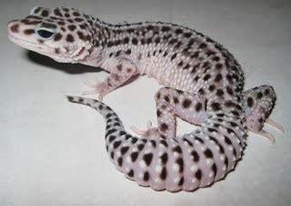 Pasir Zeolit Gecko jenis jenis gecko di dunia hewan indonesia dan jual beli