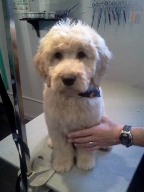 goldendoodle puppy cut haircuts for goldendoodles pictures