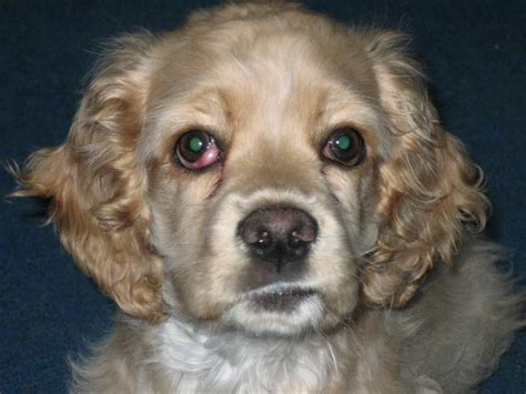 what is cherry eye in dogs information about cherry eye in cocker spaniel dogs