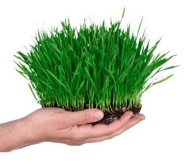 easy grow wheatgrass how to grow wheatgrass at home easy set up healthy emerald