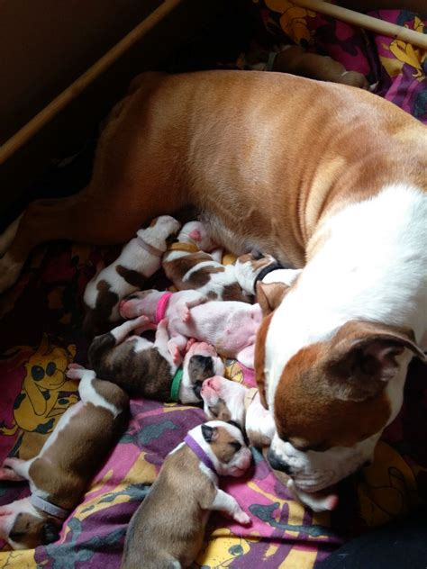 bulldog puppies for sale 600 bulldog puppies for sale galashiels selkirkshire pets4homes