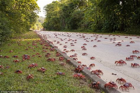 amazon com the red island a journey around australia ebook graeme sparkes kindle store millions of crabs make migration trip on christmas island daily mail online