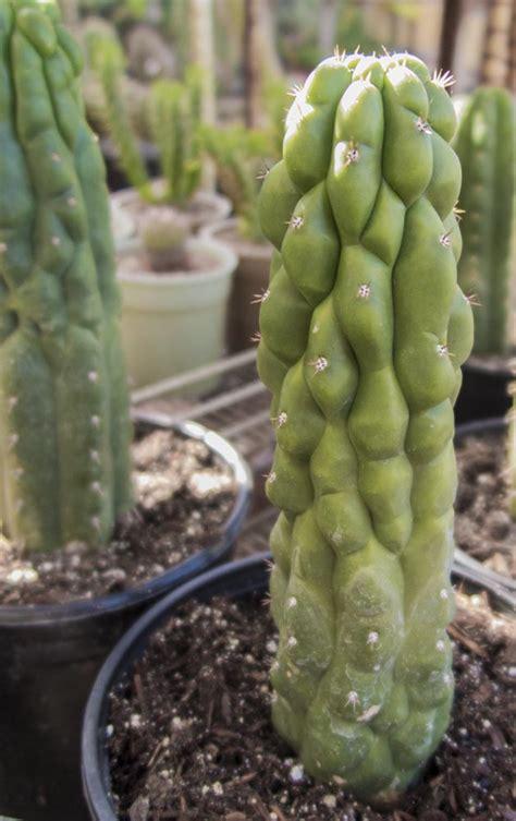 echinopsis pachanoi fa monstrose cactus jungle