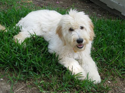 goldendoodle puppy personality goldendoodle puppy goldendoodle breed information