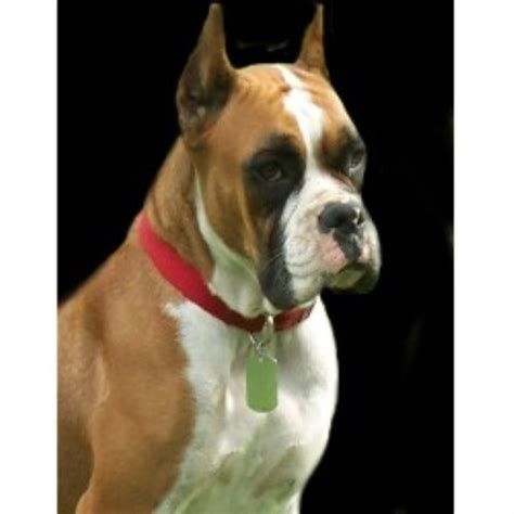 boxer puppies for sale in tennessee blazin boxers boxer breeder in oliver springs tennessee 37840 freedoglistings