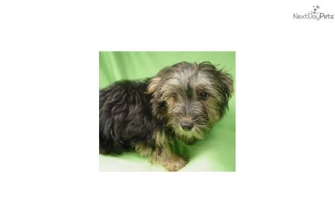 yorkie poo price meet carlos a yorkiepoo yorkie poo puppy for sale for 195 carlos black and