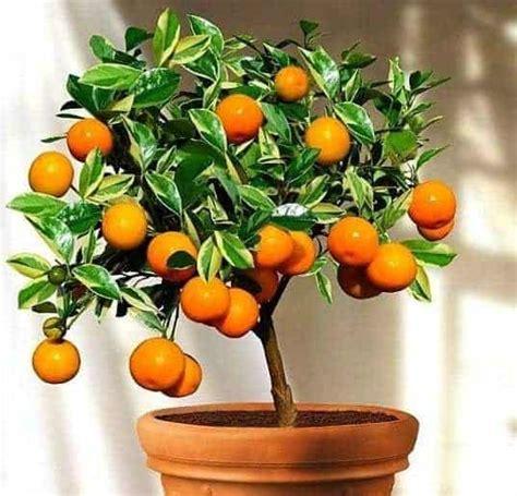tanaman buah buahan  pot bibit