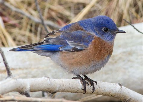 bluebird western bluebird information for kids