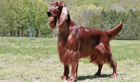 dog breeds similar to red setter irish setter breed information