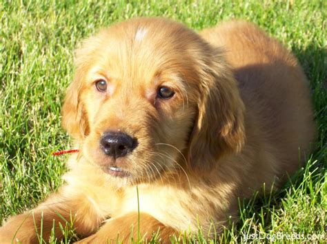 large breed golden retriever golden retriever breed pictures and photos brown hairs