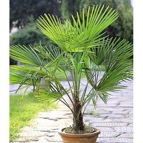 Palmen Im Garten Pflanzen 3151 by Winterharte K 252 Bel Palmen 2 Pflanzen Hanfpalme