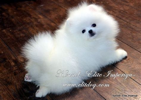 pomeranian colors white 153 best images about miniature dogs on teacup maltese puppies cutest