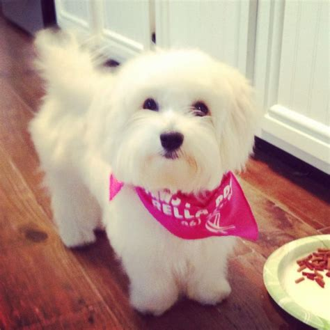 How To Give My Maltese Yorky A Haircut | 17 best images about i maltese on pinterest