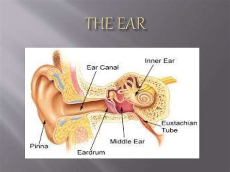 3 sections of the ear science 3 parts of the ear