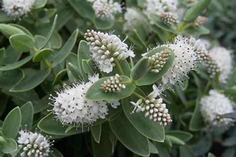 sun evergreen flowering shrub hebe albicans h60cm s90cm sun or partial shade