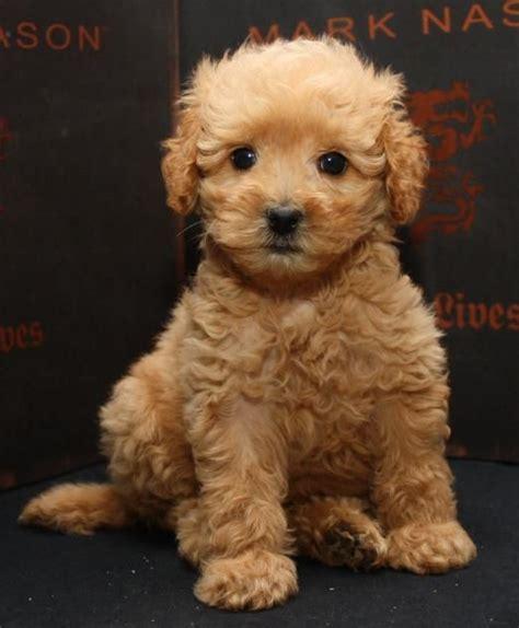 golden labradoodle puppies past beau monde labradoodles cinnamon puppies california s best golden doodles