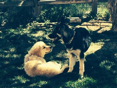 puppy primer durango area phenix dogs