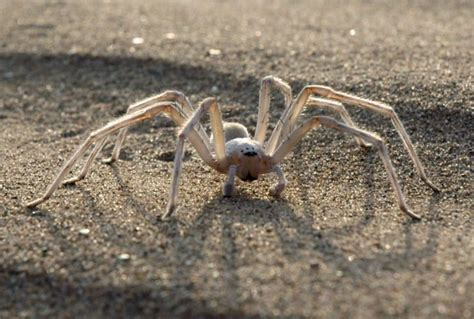 Camel Predator Safty moroccan spider that cartwheels to safety