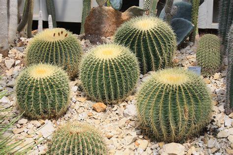 wallpaper bunga kaktus image gallery kaktus