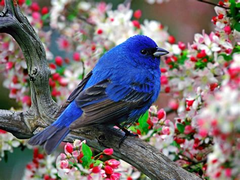 absolutely beautiful bird on a cherry blossom tree birds