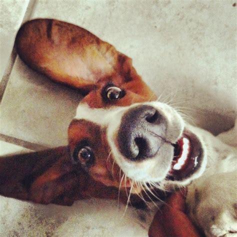 imagenes de orejones chistosos imagenes graciosas de perritos orejones imagenes de perros