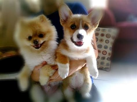 corgi and pomeranian corgi and pomeranian sense of humour pomeranians so and