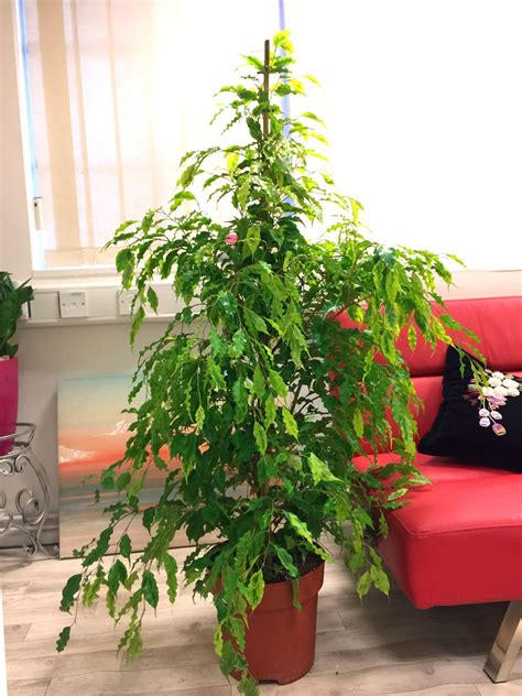 popular evergreen indoor house plant  pot office home