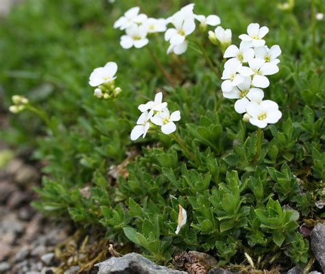 Plant Diseases Wikipedia - arabis cress rock